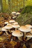Hypholoma sublateritium (Brick tuft mushroom). Syn. : Hypholoma lateritium