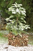 Wollemi pine protected from frost with dead leaves (Wollemia nobilis)