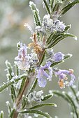 frost-covered rosemary (Rosmarinus officinalis)