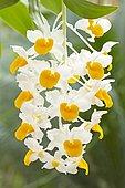 Orchid (Dendrobium thyrsiflorum) flowers
