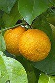 Bitter orange (Citrus x aurantium)