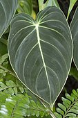 iridescent leave of Philodendron melanochrysum (Syn.: Philodendron andreanum)