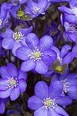 Common hepatica, kidneywort, (Anemone hepatica) flowers
