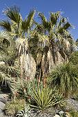 Desert fan palm (Washingtonia filifera), Yucca, Aloe