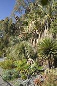 Desert fan palm (Washingtonia filifera), Yucca, Aloe, Opuntia
