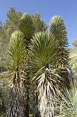 Yucca decipiens at Tropical zoological garden, La Londe-les-Maures, Var, France