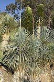 Yucca linearifolia at Tropical zoological garden, La Londe-les-Maures, Var, France