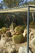 Golden barrel cactus (Echinocactus grusonii), Ferocactus protected from winter humidity by a removable roof, Tropical zoological garden, La Londe-les-Maures, Var, France