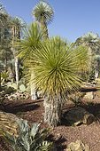 Yucca queretaroensis and Yucca rostrata at Tropical zoological garden, La Londe-les-Maures, Var, France