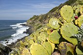 Erect prickly pear (Opuntia stricta) naturalized at Nègre Point, Six-Fours-les-Plages, Var, France
