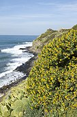 Shrubby medick (Medicago arborea) and erect prickly pear (Opuntia stricta) at Nègre Point, Six-Fours-les-Plages, Var, France