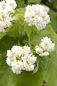 Double-flowered African hemp (Sparrmannia africana 'Flore Pleno')