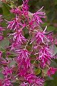 Pink Chinese fringe flower (Loropetalum chinense f. rubrum 'Fire Dance')