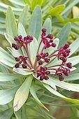 purple-flowering tabaiba (Euphorbia atropurpurea) flowers