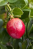 Natal plum (Carissa macrocarpa) fruit