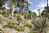 thread-leaf agave (Agave filifera), beaked yucca (Yucca rostrata), jardins du Rayol, Var, France