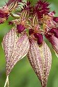 Orchid (Bulbophyllum rothschildianum)