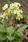 Oxlip (Primula elatior) flowers