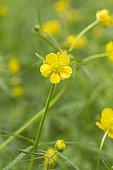 Goldilocks buttercup (Ranunculus auricomus) flower