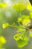 maidenhair tree young ovules (Ginkgo biloba)