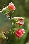 Red flower prickly pear (Opuntia elatior)
