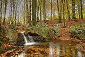 Creek 'La Sauvenière' in a Beech forest in autumn, Ardennes - Belgium