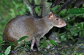 Central American Agouti (Dasyprocta punctata) adult sitting in vegetation, Ecuador