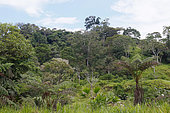 Tree ferns and Amazonian vegetation, western border Amazonia, Ecuador