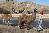 Child guiding Lamas near a farm, Western Cordillera, September, dry season, Ecuador