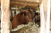 Vosgienne Cow at the stable, Ecomuseeum d'Alsace, Ungersheim, Haut-Rhin, Alsace, France