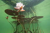 Underwater landscape and lake atmosphere, Pink water lily (Nymphaea rosea), Lac du Jura, France