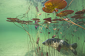 Leather carp (Cyprinus carpio carpio), Lake of the Jura, France