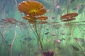 Water lilies (Nymphaea sp.) in a lake, Jura, France