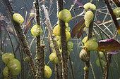 Limnée (Lymnaea sp) et Ophrydium (Ophrydium versatile), Lac du Jura, France