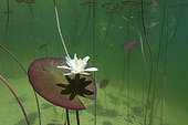 White or pink water lily (Nymphaea alba - Nymphaea rosa), Lake Jura, France