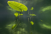 Yellow water lily (Nuphar lutea), Lake Jura, France