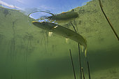 Big Pike (Esox lucius) in its environment, Lake of the Jura, France