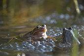 European frogs (Rana temporaria) on their eggs, Lake Jura, France