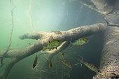 Young European Perchs (Perca fluviatilis) in their aquatic environment, Lac du Jura, France