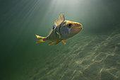 European perch (Perca fluviatilis) in its aquatic environment, Lac du Jura, France