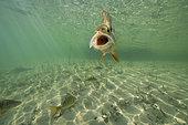 European Perch (Perca fluviatilis) in their aquatic environment, Lac du Jura, France