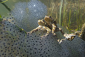 Common toads (Bfo bufo) on European frog (Rana temporaria) lakes, Lac du Jura, France