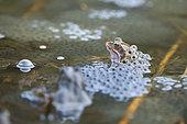 European frog (Rana temporaria) on its eggs, Lake of the Jura, France