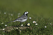 Pied Wagtail (Motacilla alba) on a cow dung in a flowery meadow