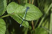 Azure damselfly (Coenagrion puella) on a leaf