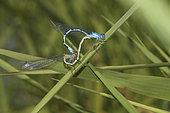 Common blue damselfly (Enallagma cyathigerum) mating, Gulf of Morbihan, Brittany, France