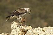 Bonelli's Eagle (Hieraaetus fasciata) male on a rock plucking a Red Partridge, Spain