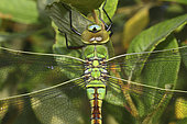 Emperor dragonfly (Anax imperator) female