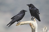 Common Raven (Corvus corax) couple on a branch above a cliff by the sea