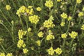 Helichrysum (Helichrysum stoechas) perennial plant of the dune massifs